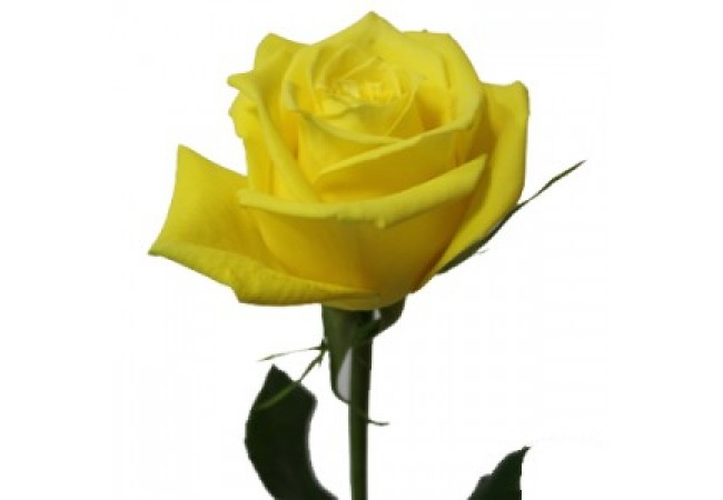 Yellow rose (by the piece)